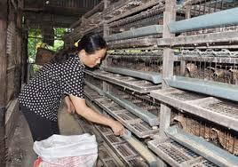 Kỹ thuật nuôi dưỡng chim cút mái trong giai đoạn đẻ trứng