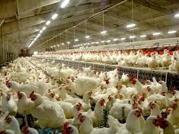 Ảnh hưởng của vitamin ADE đến năng suất sinh sản gà Ross 308