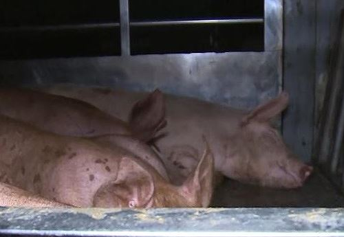 Phát hiện lợn dịch tả Châu Phi sử dụng giấy tờ nghi giả để đi tiêu thụ